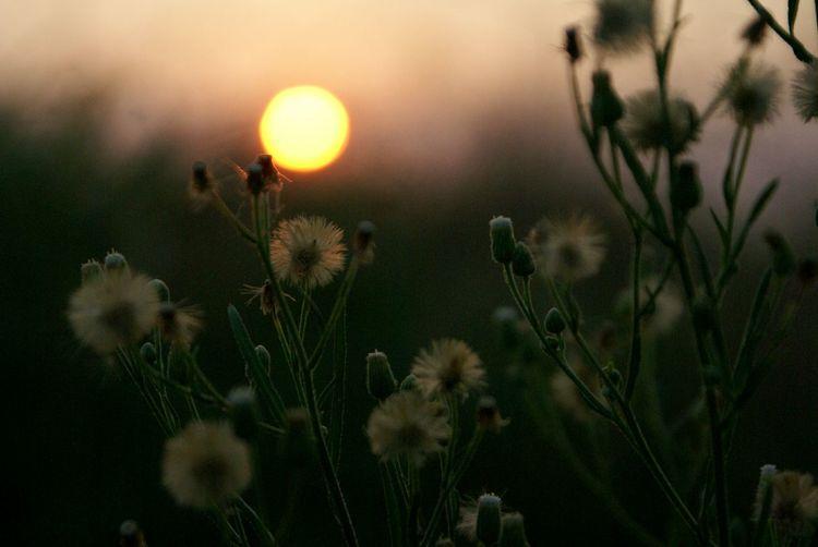 微熱的夏天,微風伴著晚春的沁香與夏初的濕漉,爽而不快的感覺,像是退冰的啤酒,苦澀難喝。終於太陽開放落下,涼爽的夜晚來臨,彷彿剛開瓶的啤酒伴著預冰過的杯子端上桌了,愉悅的心情,今天才剛開始。 Summerfeeling Sunset Sunlight Flowers Nature Shillouette South Escaping Getting Inspired Sun Learn & Shoot: Simplicity Perfect Match