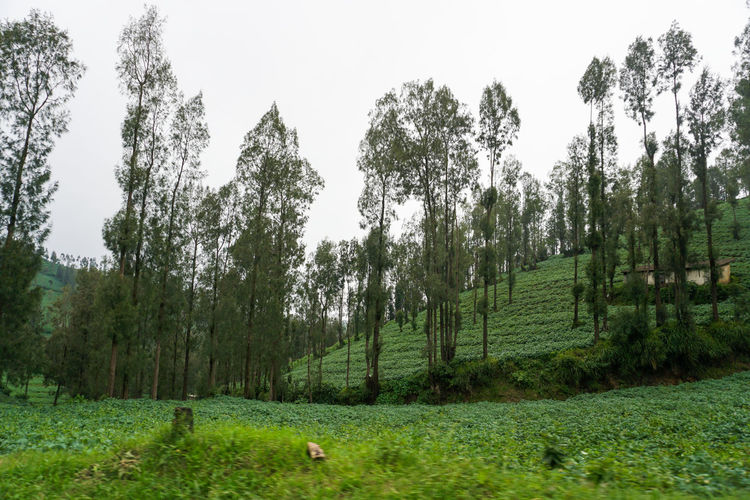 Garden fields, Mount Bromo. Plant Tree Land Growth Green Color Landscape Tranquility Beauty In Nature Environment Scenics - Nature Grass Sky Nature Tranquil Scene Field No People Day Forest Non-urban Scene Outdoors Bromo Bromo-tengger-semeru National Park Bromo Mountain