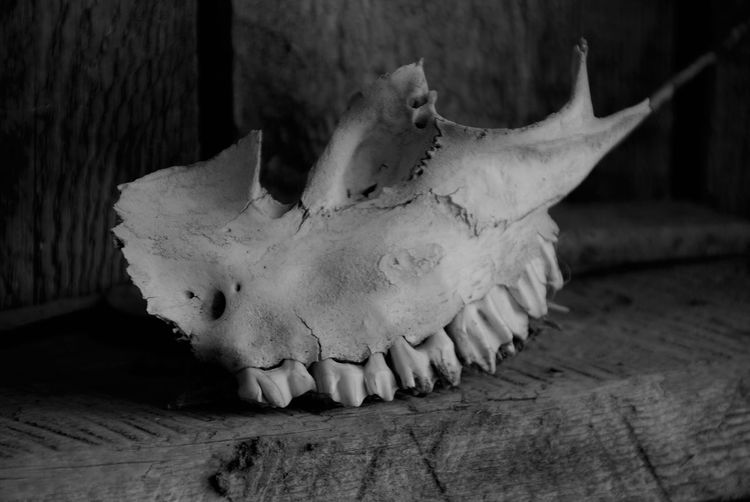 Animal Skull Bison Bison Group Black And White Day Fresh On Eyeem  Grand Tetons National Park Mormon Row Nature Nature Photography No People Powerful Animals Regal Skull Travel Travel Destinations Wyoming Wyoming Landscape