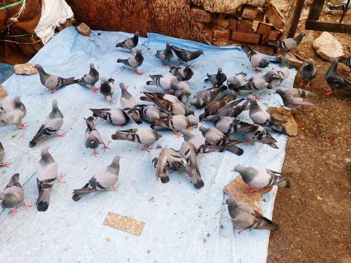 Pigeons Eating Food On Ground