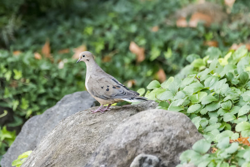 Dove Animal Animal Themes Animal Wildlife Animals In The Wild Bird Day Focus On Foreground Green Color Growth Nature No People One Animal Outdoors Perching Plant Rock Rock - Object Selective Focus Solid Vertebrate