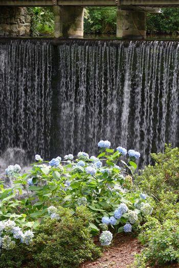Hydrangea Flower Hydrangea Hydrangea In Bloom Hydrangeas Water Waterfall Waterfalls Beauty In Nature No People Beauty In Nature Nature's Diversities Natures Diversities Nature On Your Doorstep
