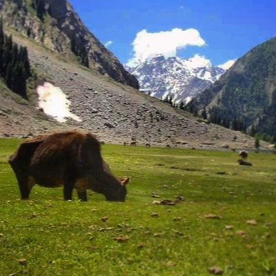 Beautiful Lush Green Swat valley pakistan snowcovered peaks mountainous landscape trees naturelovers nature escapists paradise tourism trekking hiking breathtaking scenery buffalo roadtrip P.C Hamza Khan