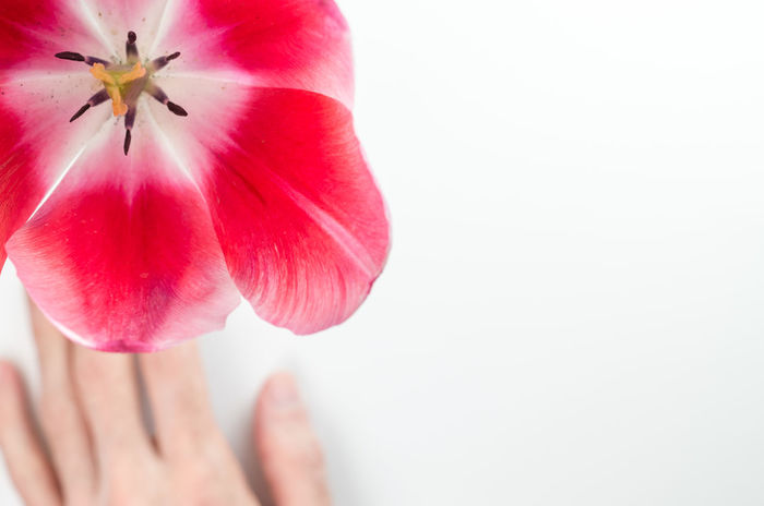red tulip still life Beauty In Nature Close-up Copy Space Finger Flower Flower Head Flowering Plant Fragility Freshness Hand Human Body Part Human Hand Inflorescence Nature One Person Petal Plant Red Studio Shot Tulip Vulnerability  White Background