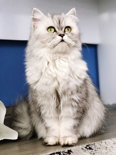 Refresh darkness and light Chinchilla Persian Cat  One Animal Vertebrate Pets Domestic Cat Cat Feline Domestic Looking At Camera Portrait White Color Whisker Indoors  Persian Cat  No People Domestic Animals Animal Eye My Best Photo My Best Photo