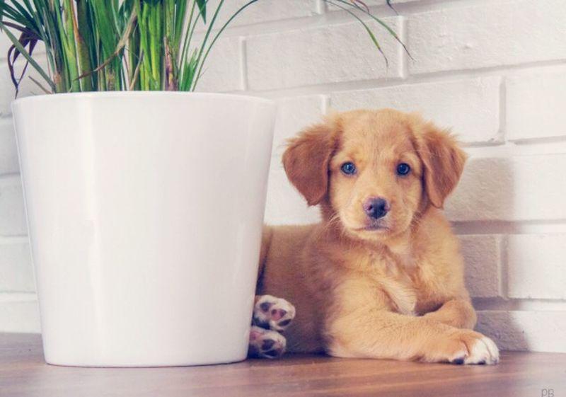 Novascotiaducktollingretriever Puppy Hi! Sweet
