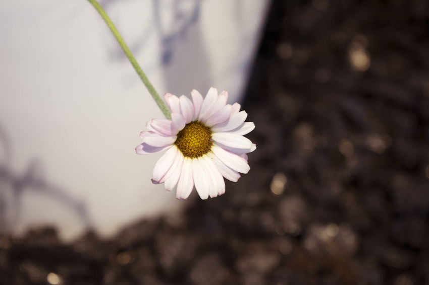 Beauty In Nature Blooming Blossom Blüte Botany Close-up Daisy Elegance In Nature Elégance Focus On Foreground Fragility Freshness In Bloom No People Selective Focus