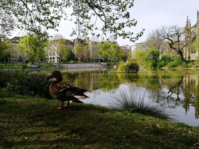 Swan on lake by trees