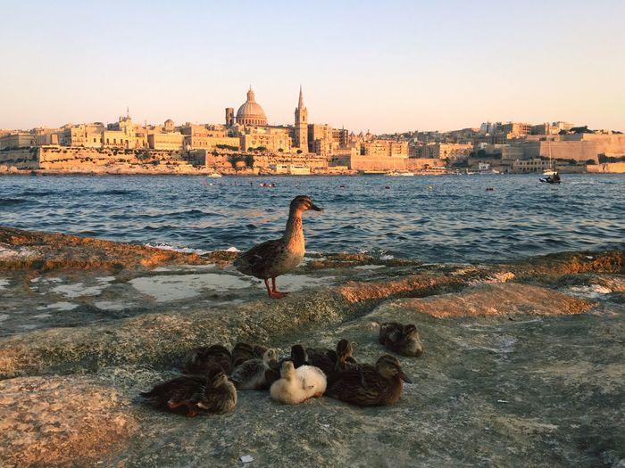 Duck in front of Valetta, Malta. Malta Sea Relaxing Summer Historical Monuments Mediterranean  Valetta Animals Special
