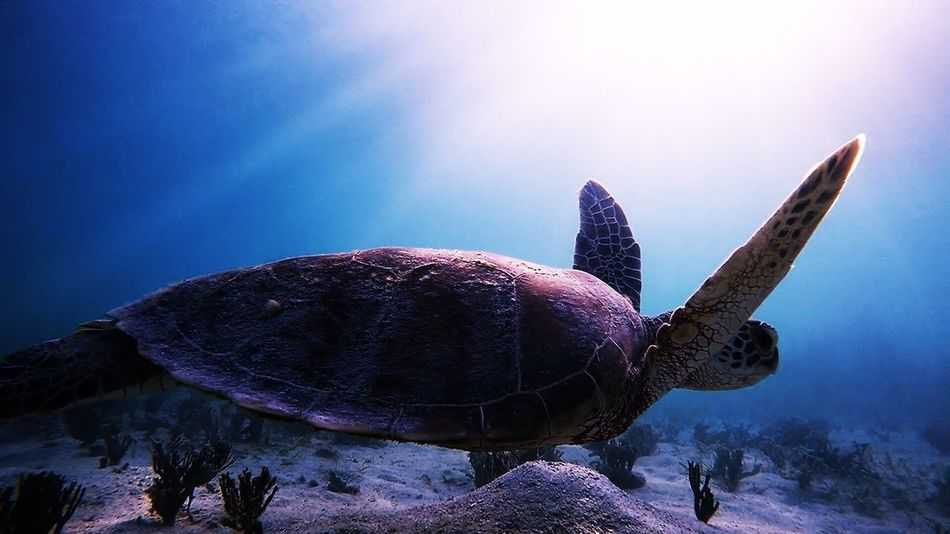 Turtle Reptile Animal Shell One Animal Animals In The Wild Sea Turtle Tortoise Animal Themes Tortoise Shell Sea Life Animal Wildlife Nature No People UnderSea Day Sunlight Swimming Outdoors Beauty In Nature Sea