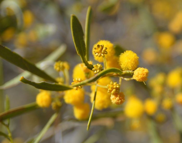 Beauty In Nature Blooming Close-up Day Flower Flower Head Fragility Freshness Growth Nature No People Outdoors Plant Wattle Flower Yellow