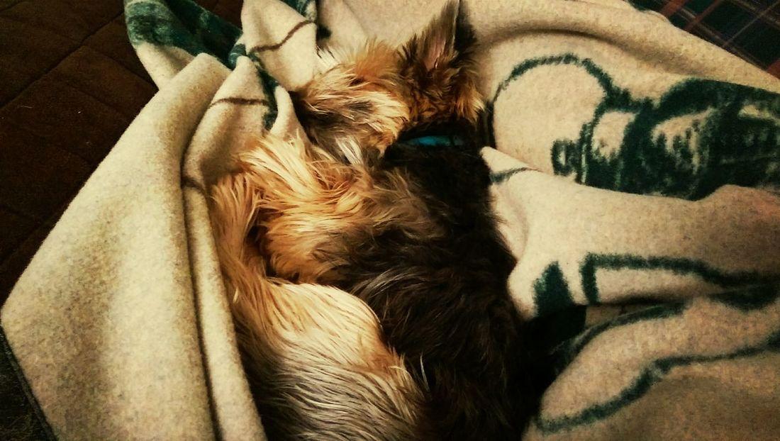 Yorkshire Terrier Yorkie Nap