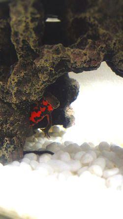 Newt アカハライモリ Japanese Fire Belly Newt 両生類 Amphibian