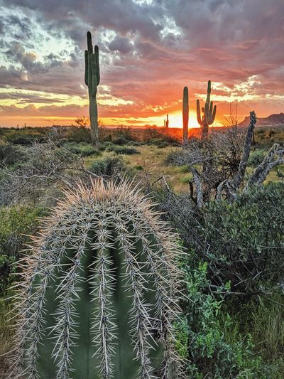 Cactus growing on field against sky during sunset