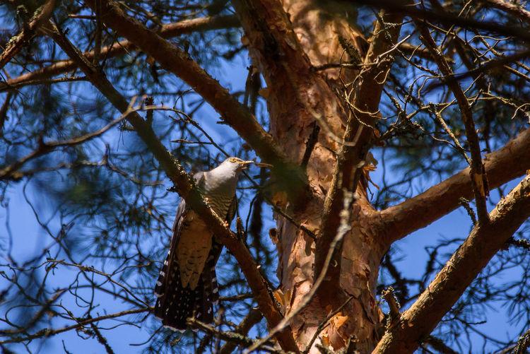 Common cuckoo (Cuculus canorus) bird on tree. Common Cuckoo Cuculus Canorus Nature Nature Photography Bird Branch Cuckoo Pine Tree Tree