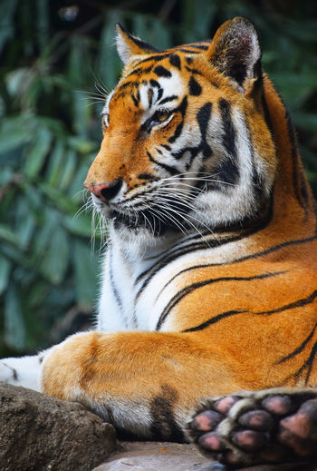 Bengal Tiger Sitting In Zoo