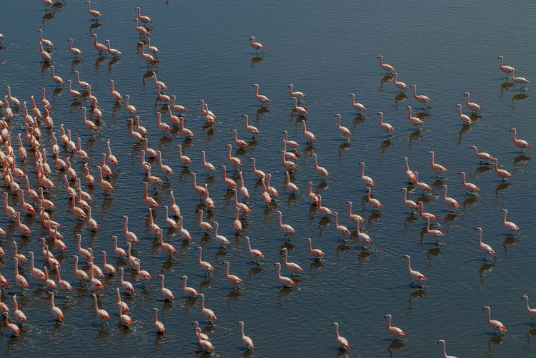 Flamingos ,Patagonia , Argentina Animal Animal Wildlife Large Group Of Animals Group Of Animals Animal Themes Animals In The Wild Water Bird Vertebrate Sea No People Nature Day Beauty In Nature High Angle View Flock Of Birds Beach Land Flying Seagull Flamingo Patagonia Argentina Endangered Species