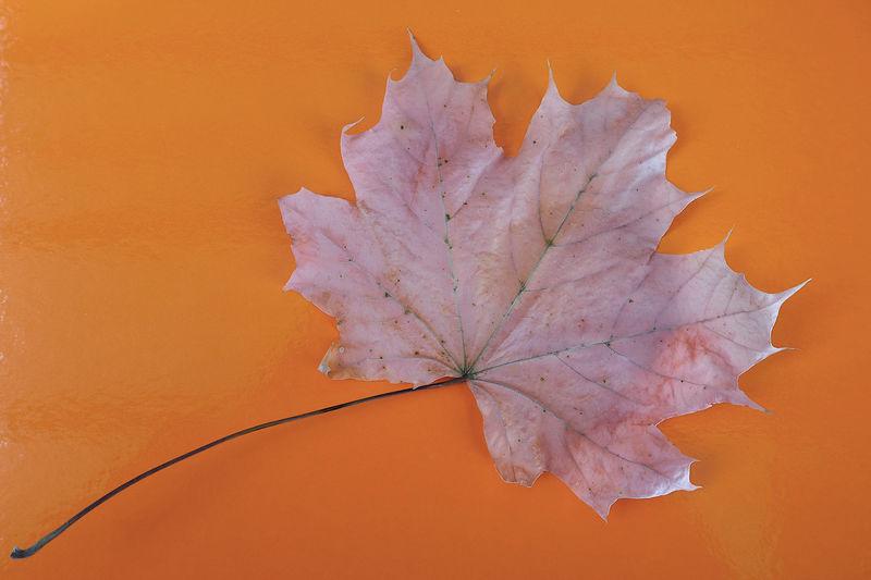 Close-up of dry maple leaf on orange surface