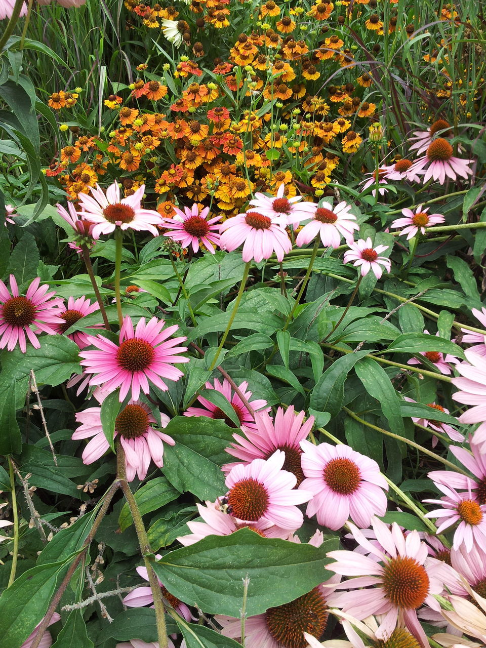 flower, growth, beauty in nature, leaf, fragility, petal, nature, plant, blooming, freshness, flower head, day, no people, outdoors, high angle view, pink color, park - man made space, green color, eastern purple coneflower, close-up, periwinkle