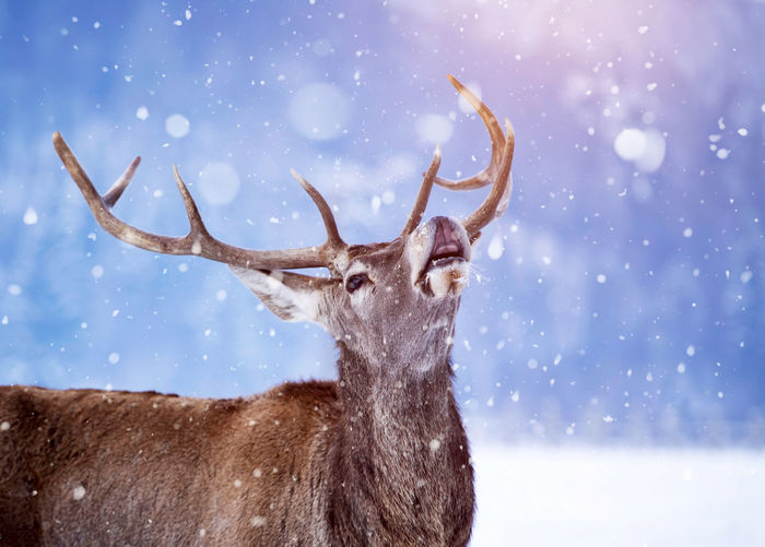 Reindeer standing outdoors during winter