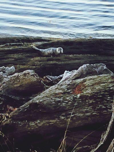 Baby Seal at