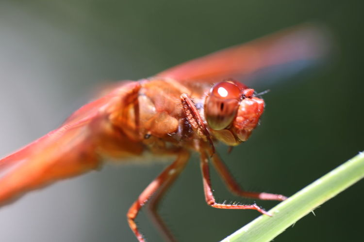 Animal Themes Animals In The Wild Beauty In Nature Close-up Day Dragonfly Eyes Focus On Foreground Freshness Growth Insect Insects  Macro Macro Nature Macro Photography Nature No People One Animal Outdoors Perching Plant Red Selective Focus Wildlife Wings