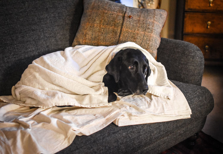 Labrador Relaxing Cosy Cute Dog Pet Seteechademenos Snug Sofa