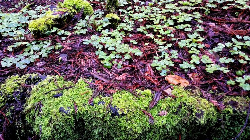 Clover Armstrong Redwoods Forest Floor Clover Green Moss Litchen Zen Serene Peaceful Contemplating Copy Space Meditation Timeless Nirvana Tranquil Scene Natural Color Nature's Colors Multi Colored Tiny Dainty Delicate Small Nature Full Frame No People Growth Outdoors Day Beauty In Nature