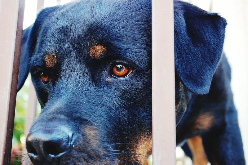 Rottweiler Dog Animal_collection Dog Life Dogs Of EyeEm Dog Portrait Dog Photography Rotweiller Dog ,Rottweiler Cats & Dogs Animal Themes Animals Welcome To Black