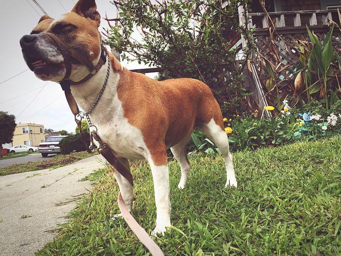 My babygirl💟 Kona The Pitbull Pitbull Pitbull Love Pitbulllover Rednose Pitbull Blissful Dog Smiling Happy Dog Here Belongs To Me