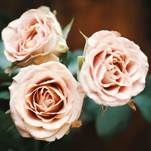 Beauty In Nature Blooming Blossom Botany Close-up Day Flower Flower Head Focus On Foreground Fragility Freshness Growth In Bloom Natural Pattern Nature No People Outdoors Petal Pink Color Plant Rosé Rose - Flower Selective Focus Single Rose Softness