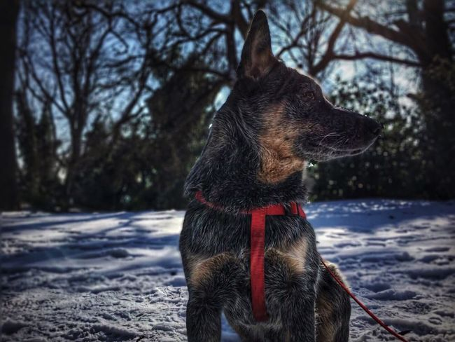 Dog Pets Domestic Animals Animal Themes Snow One Animal Winter Cold Temperature Mammal Tree No People Field Nature Outdoors Bare Tree Day Snowing Australiancattledog Cattledog Blue Dog Heeler Australian Cattle Dog Winter ACD  Blue Heeler
