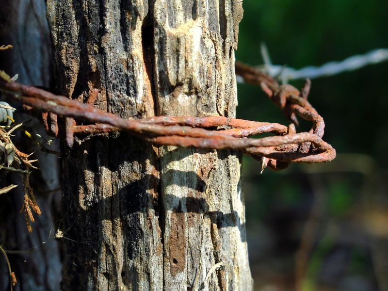 EyeEm Selects Rustic Tree Close-up Rusty Metal Rusty Barbed Wire Fence Wrapped Around A Branch Upclose  Farm Farm Life Man Made Weathered Fence