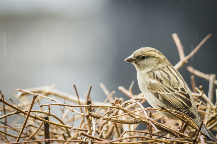 Sparrow Animal Animal Wildlife Animal Themes Animals In The Wild One Animal Bird Perching Branch Plant Tree Focus On Foreground Close-up Sparrow Selective Focus No People Nature Day Outdoors Looking Away