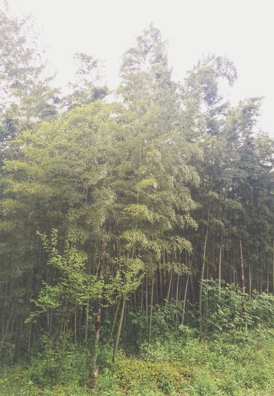 Jiangsu Province China Bamboo Bamboo Forest Forest Landscape Landscape_Collection Taking Photos Walking Around Green Color Tree Plants EyeEm Nature Lover Eye4photography