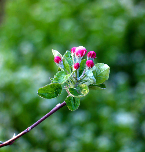 sprong Apple Blossom Apple Orchard Beauty In Nature Close-up Day Fragile Fragile Nature Growth Nature No People Outdoors Springtime