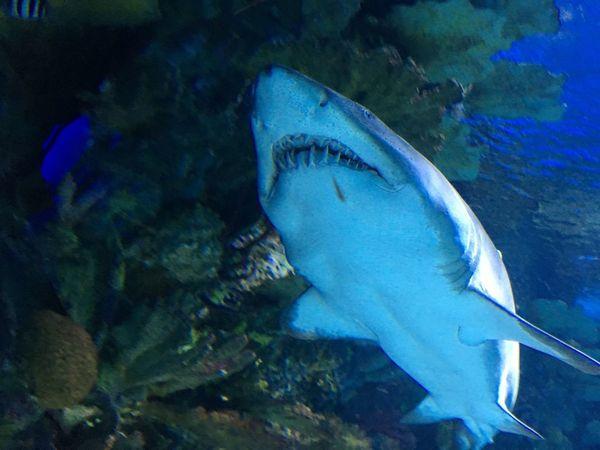 Shark Sea Animal Animal Themes Underwater Water Fish Animals In The Wild Sea Life Swimming UnderSea Marine Nature