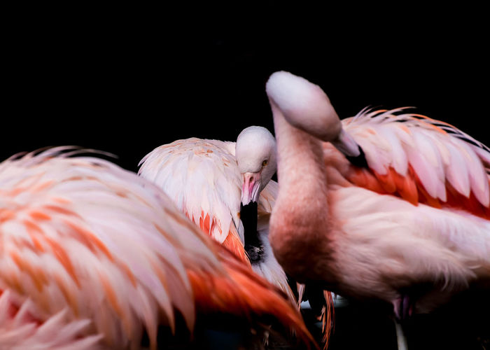 Flamingos preening feathers against black background