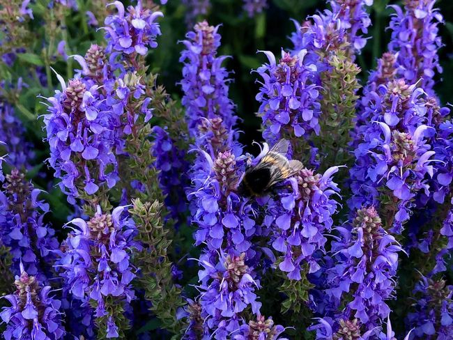 Animal Animal Themes Animal Wildlife Animals In The Wild Beauty In Nature Bee Bumblebee Close-up Flower Flowering Plant Fragility Freshness Insect Invertebrate Lavanda Lavander Flowers Lavender No People One Animal Petal Plant Pollination Purple Purple Flower Vulnerability