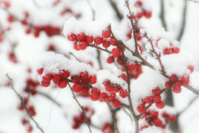 Red Berries Snow Covered Branches And Snow Snow ❄ Beautiful Nature Winter Cold Ohio Outside Outdoor Pictures Wintertime February 2016 Winter 2016 Nature Photography EyeEm Best Shots - Nature EyeEm Nature Lover Nature Winter Trees Up Close Colors Of Nature Berries Red