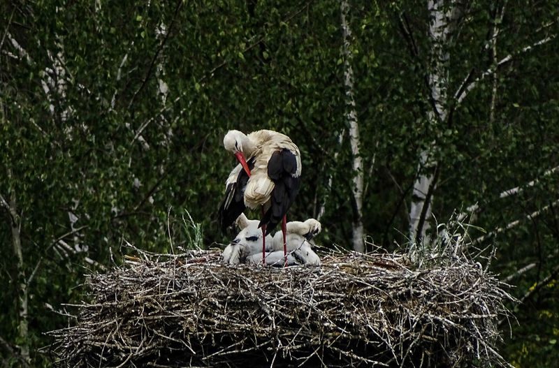 Animal Themes Hunger Learning By Doing Learning Form Mama Nature Offspring Stork Stork's Nest Young Animal Young Stork