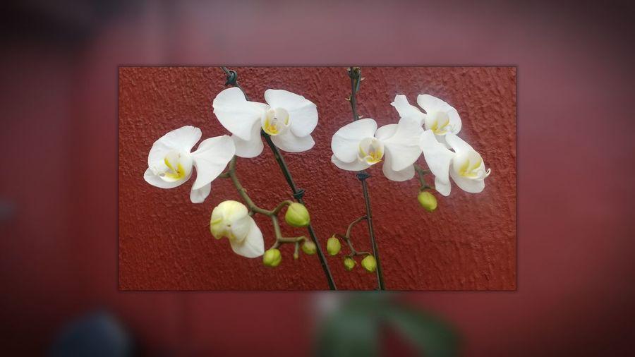 Orquidea Flower Beauty In Nature Closeup Photography Orquideas Close Up.