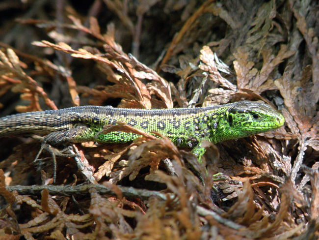 Lizard Nature Reptile