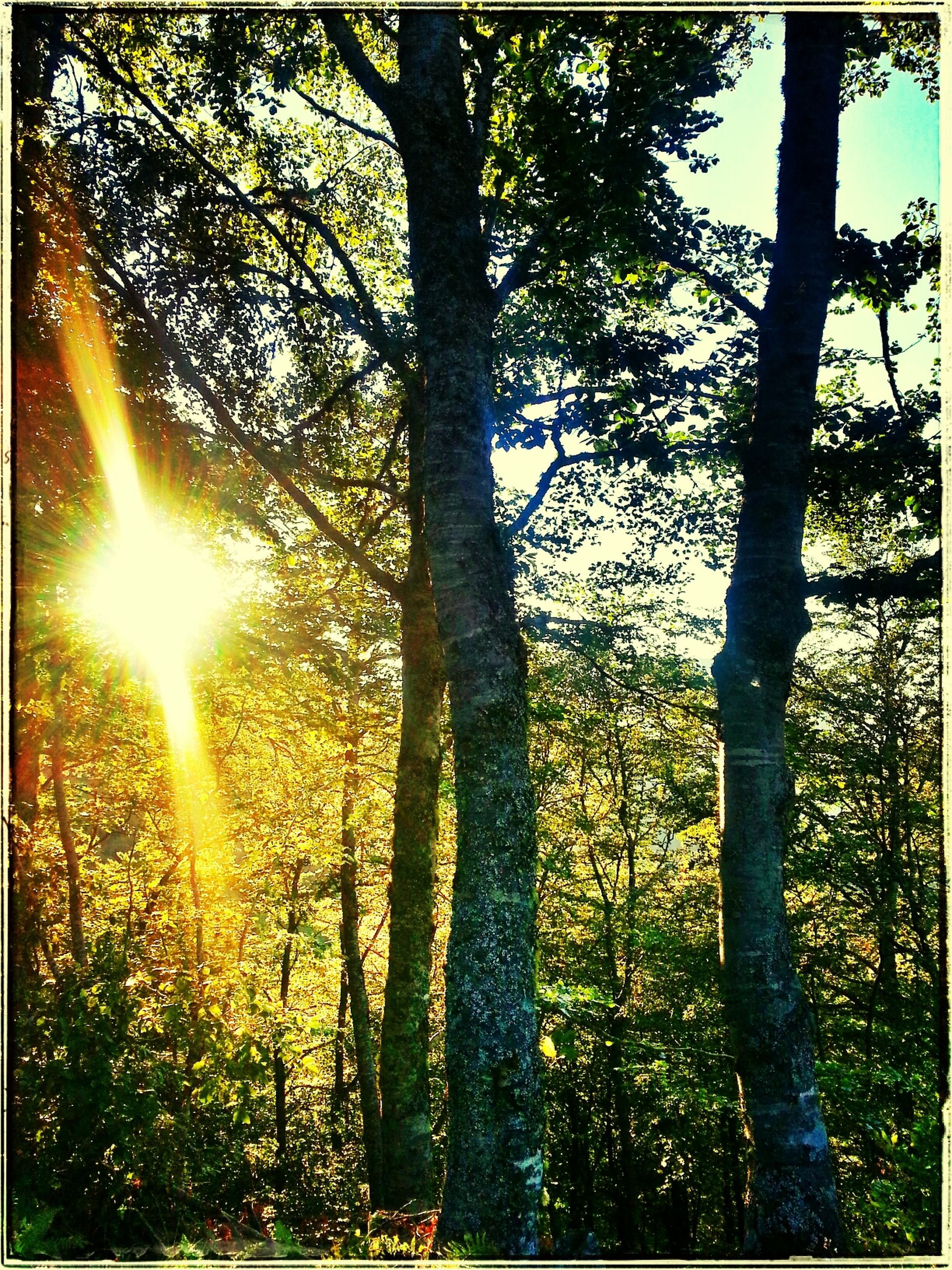 tree, tree trunk, forest, tranquility, growth, sun, sunbeam, sunlight, woodland, nature, lens flare, beauty in nature, tranquil scene, transfer print, scenics, branch, auto post production filter, outdoors, back lit, day