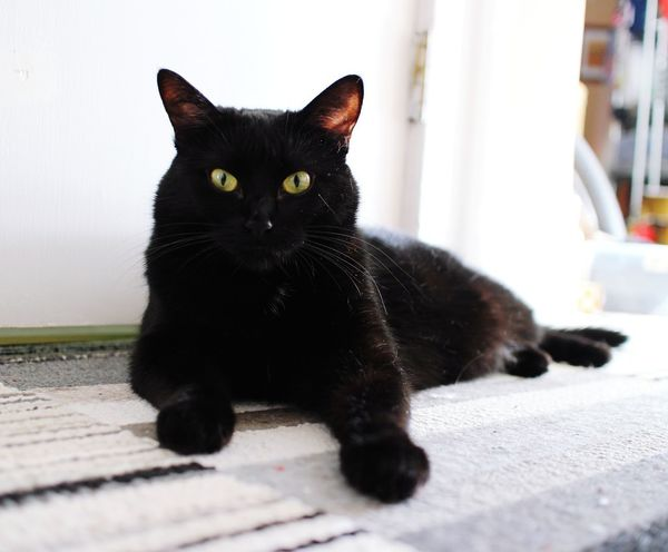 Domestic Cat Black Color One Animal Lying Down Alertness Looking At Camera Black Cat Indoors  Black Cats