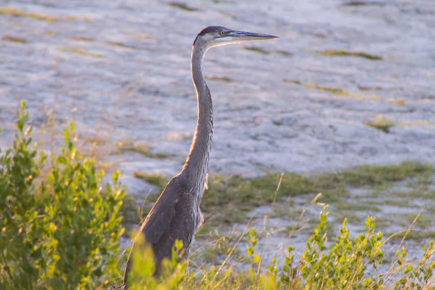Animals In The Wild Beak Bird Day Exactleigh Grass Gray Heron Jamie Leigh Nature Outdoors Sunset Water