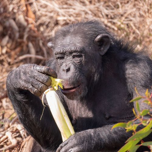 Chimpanzee Eating. Animal Sunny Monkey Chimpanzee Chimp Animals In The Wild Animal Wildlife Primate Vertebrate One Animal Mammal Ape No People Portrait Day Looking Zoo Outdoors Nature Holding