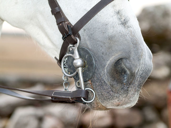 Querer gritar y no poder Horses Impotence Livestock Mouth Animal Animal Farm Animal Part Cattle Close-up Closed Mouth Concept Conceptual Day Focus On Foreground Horse Horse Mouth Horse Photography  Mammal Mouth Close No People No Words Outdoors Rein Reins Silence The Week On EyeEm