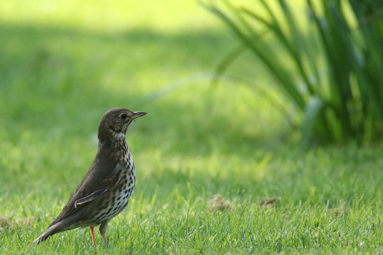 Birds Song Thrush Birds Birds Of EyeEm  EyeEm Selects Bird Animals In The Wild Animal Themes Animal Wildlife Animal Vertebrate Grass One Animal Green Color No People Field