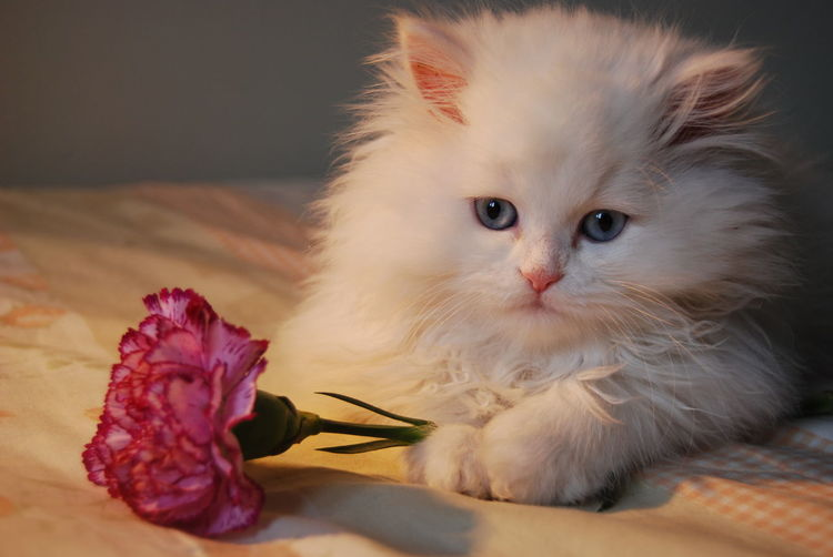 Close-Up Of Kitten With Flower Sitting On Bed At Home